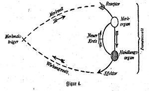 Schéma original d'une boucle de réactions, Theoretische Biologie, 1920