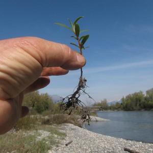 Populus Nigra (à moins que ce ne soit Salix Alba) (Philippe Belleudy)